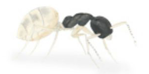 Ghost Translucent Black Ant